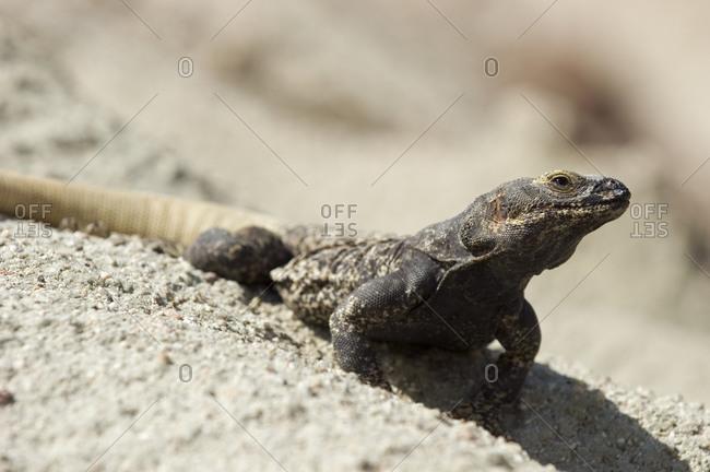 Chuckwalla (Sauromalus obesus obesus) warming himself on white rocks
