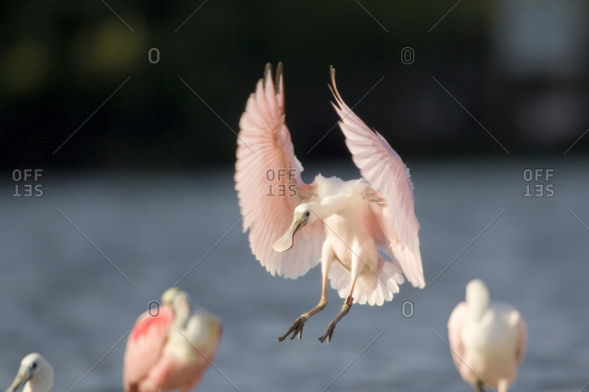 Roseate Spoonbill (Ajaia ajaja) comes in for a landing