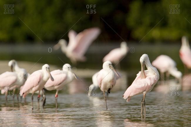 Roseate Spoonbills (Ajaia ajaja) feed on a mangrove island