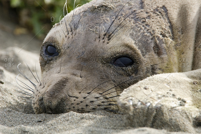 Elephant Seal (Mirounga angustirostris) relaxing on the beach