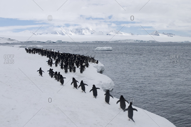 Adelie Penguins (Pygoscelis adeliae) walking in a line.