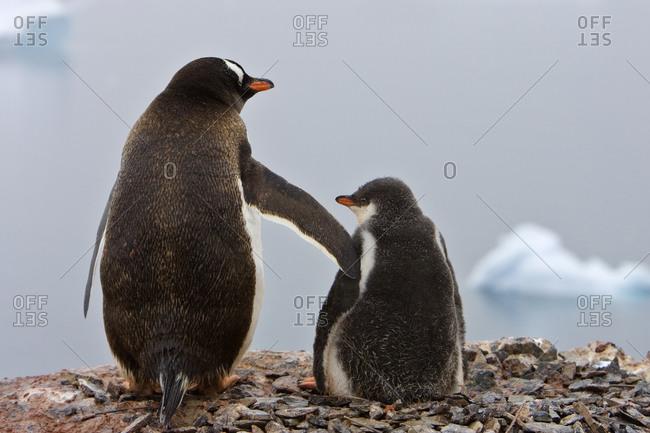 Tender moment, Gentoo penguins(Pygoscelis papua), Antarctica