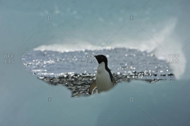 Ice window frames Adelie Penguin, Antarctica