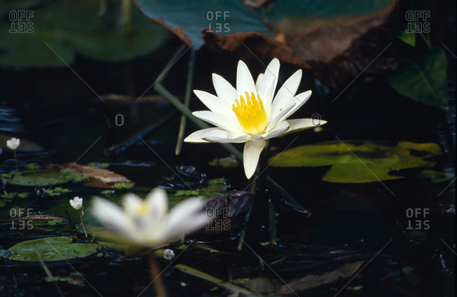 A delicate white Water Lilly emerges from the surface of a wetland.