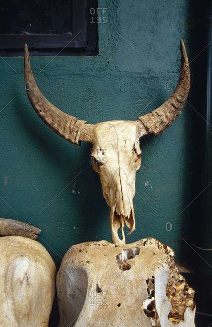 The skull bones from a slaughtered Water Buffalo rest against a wall.
