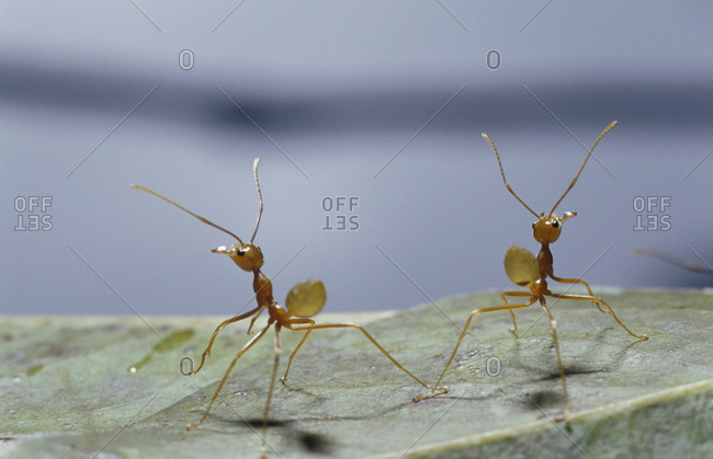Two Green Tree Ants standing on their hind legs in defensive posture.