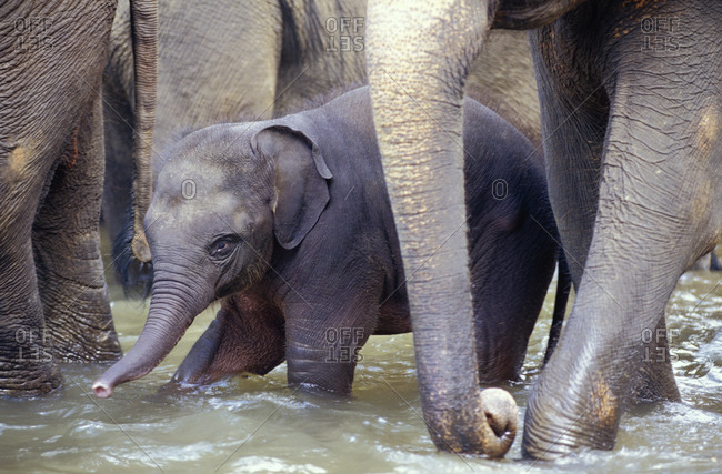 An Endangered Sri Lankan Asian Elephant calf protected by its herd