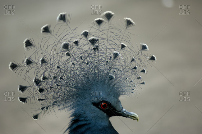 A Victoria crowned pigeon (Goura victoria).