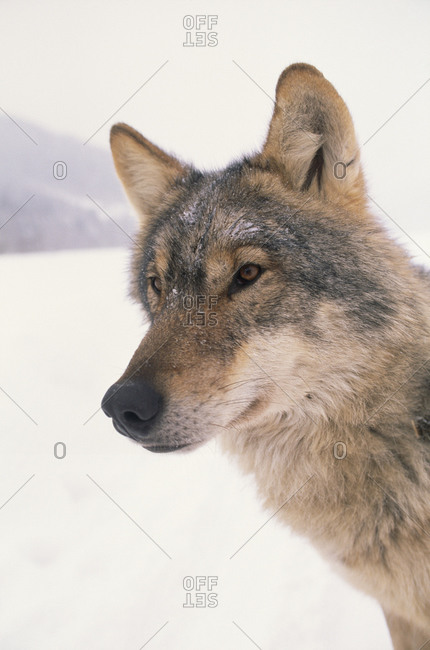 A captive wolf studied by Carpathian Large Carnivore Project.