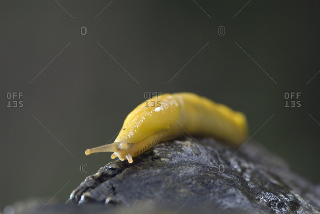 Close-up of a Pacific banana slug (Ariolimax columbianus stramineus).