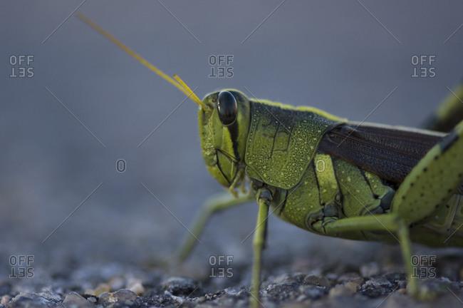 A bird grasshopper (Schistocerca obscura).