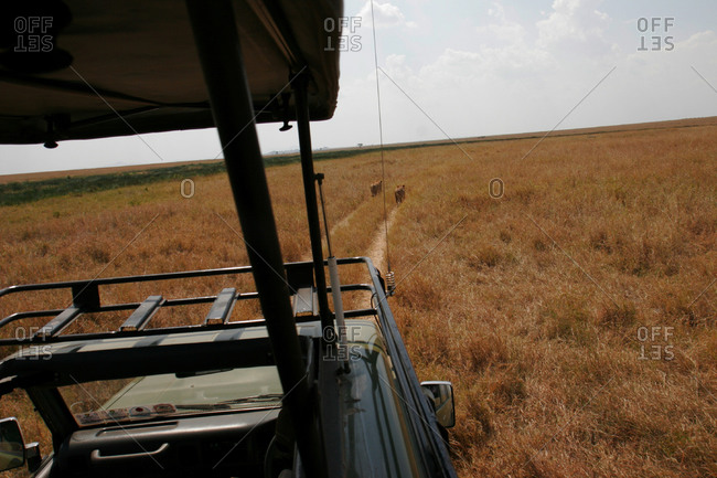 Safari vehicle following African lions in the Serengeti grasslands.