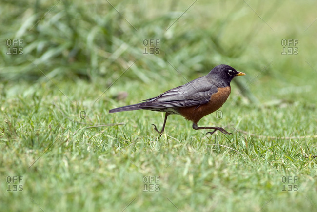 American Robin (Turdus migratorius) running across the landscape.