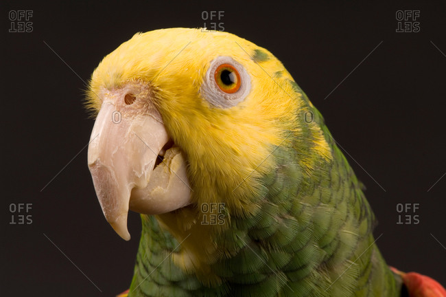 A yellow-headed Amazon parrot (Amazona Oratrix oratrix) at the Zoo.
