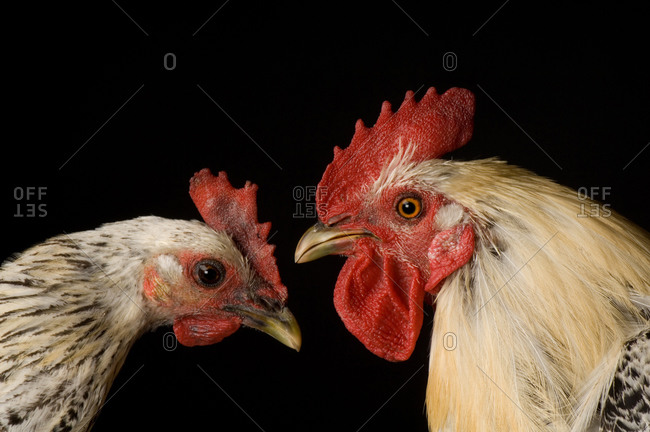 Egyptian Fayoumis chickens (Gallus gallus fayoumi), a rare breed.