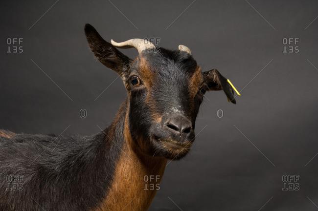 A San Clemente Island goat (Capra hircus hircus), a rare breed.