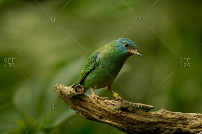 A blue dacnis (Dacnis cayana) at the zoo.