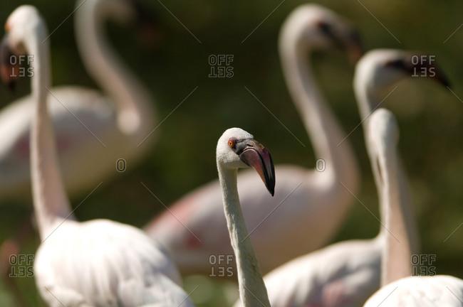Lesser flamingos (Phoeniconaias minor) at the Kansas City Zoo.