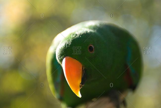 A male Solomon Island eclectus parrot (Eclectus roratus solomonensis).