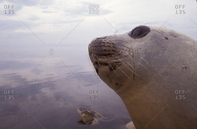 Southern Elephant Seal head, eye, eyelashes, nose, mouth and whiskers