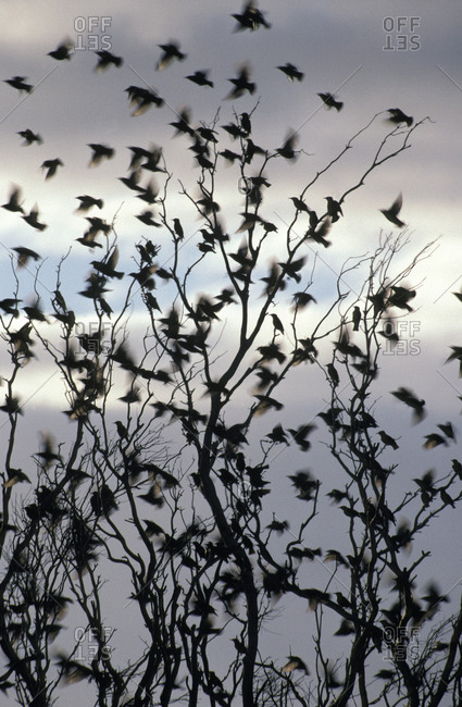 A migrating Common Starling flock at sunset take flight