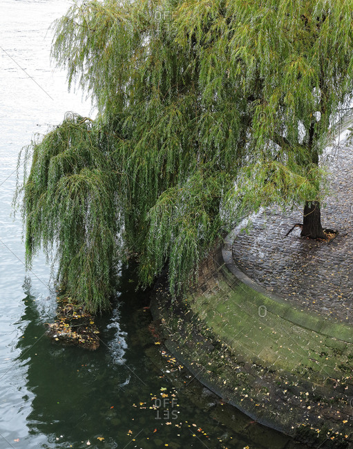 Overhead view of weeping willow
