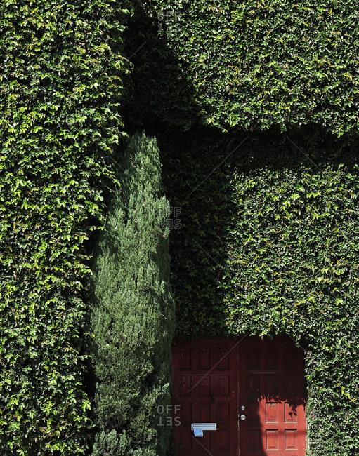 Trimmed hedgerow, thuya and garden door