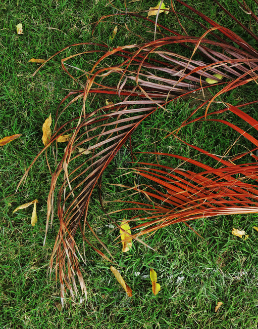 A dried palm leaf on green grass