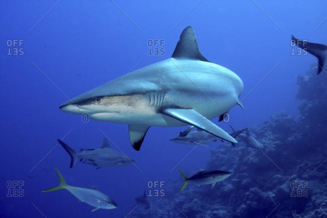 Gray Reef Shark,  Carcharhinus Amblyrhynchos, Coral Sea