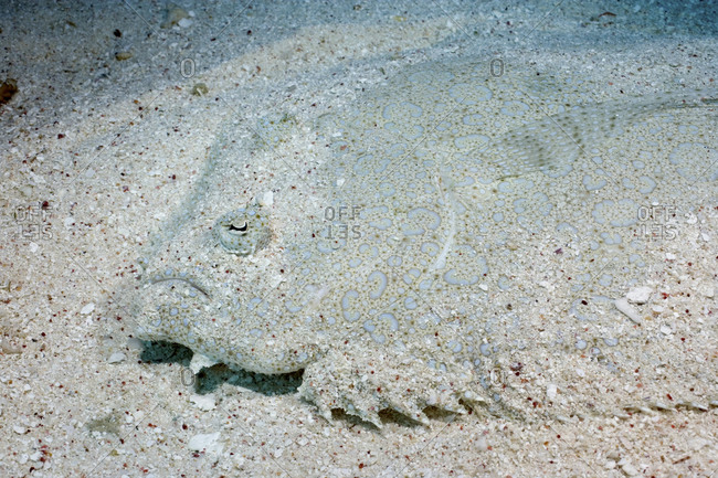 A Flowery Flounder, Bothus Mancus, Blends Superbly Into The Sand Bottom, Coral Sea, Australia