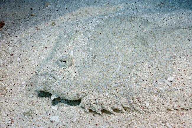 A Flowery Flounder, Bothus Mancus, Blends Superbly Into The Sand Bottom, Coral Sea, Australia