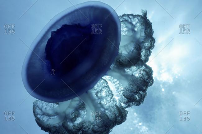 Sunbeams Illuminate The Fragile Beauty Of A Jellyfish, Cephea Species, Fiji