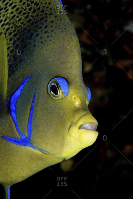 Close-up Of A Semicircle Angelfish, Fiji