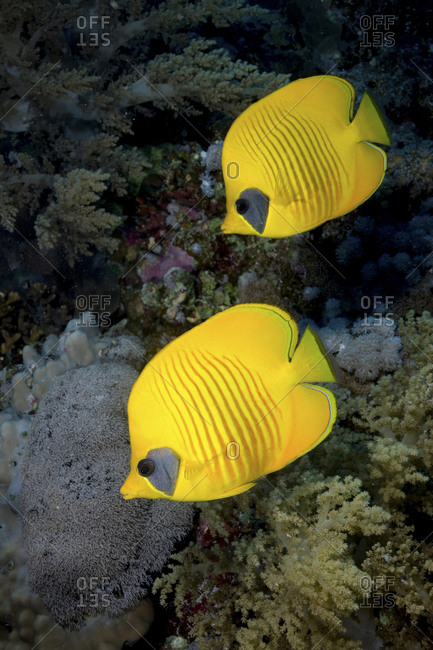 Close-Up Of Blue Cheek Or Masked Butterflyfish (Chaetodon Semilarvatus)