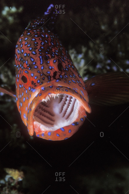 Gaping Mouth Of Coral Grouper