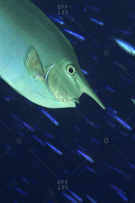 A Whitemargin Unicornfish, Naso Annulatus, With A Curtain Of Lunar Fusiliers, Caesio Lunaris