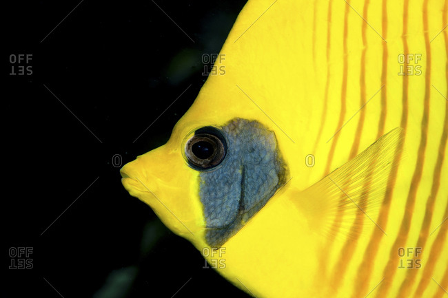 Close-Up Of Blue Cheek Or Masked Butterflyfish (Chaetodon Semilarvatus)