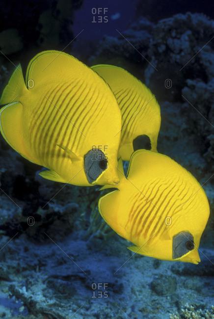 Trio Of Masked Butterflyfish - Offset