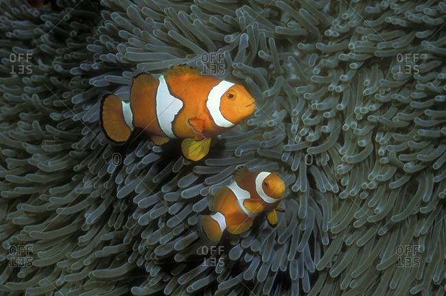 Pair Of Clownfish
