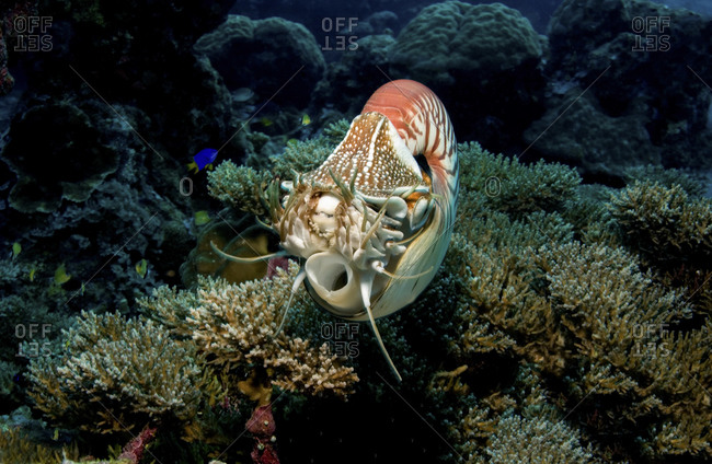 Chambered Nautilus, Nautilus Pompilius, Navigating Over A Reef Via Use Of Its' Siphon