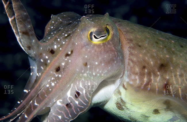 A Broadclub Cuttlefish, Sepia Latimanus, Waves A Tentacle, Papua  New Guinea