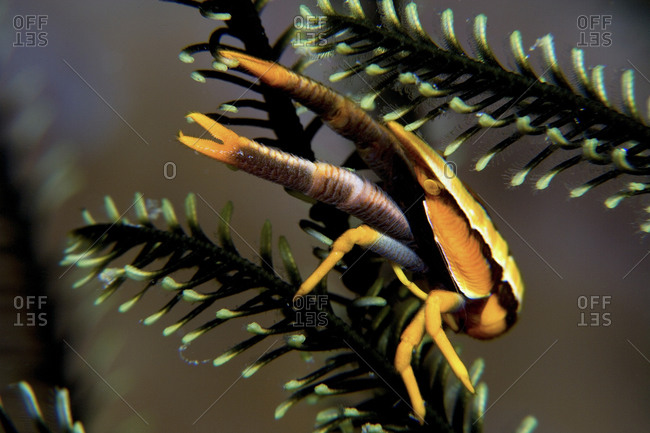 A Colorful Elegant Squat Lobster, Resting On A Branch Of A Feather Star, Papua New Guinea