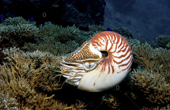 Chambered Nautilus In Motion