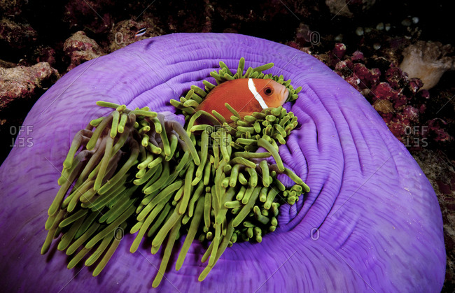 Maldives Anemonefish (Amphiprion Nigripes) Snuggles In The Protective Tentacles Of A Magnificent Anemone