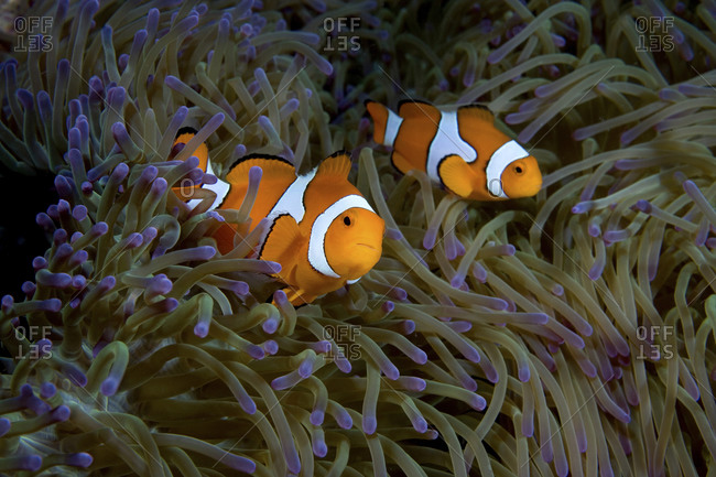A Pair Of False Clown Anemonefish, Amphiprion Ocellaris,  Amid The Purple Tipped Tentacles Of A Gigantic Sea Anemone, Stichodactyla Gigantea, Papua New Guinea