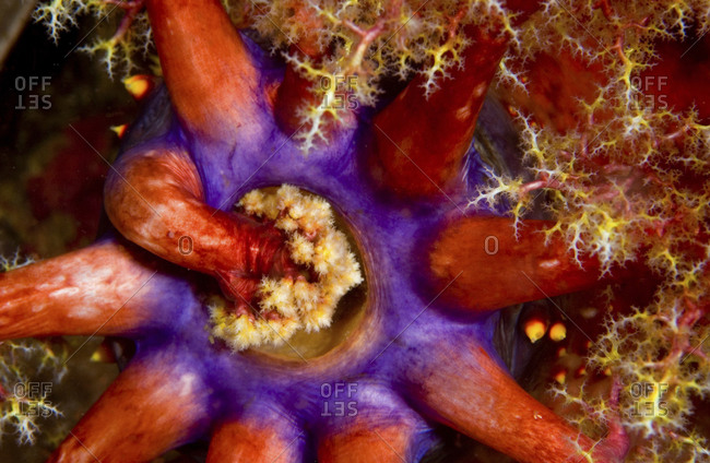 The Feeding Behavior Of A Sea Apple, A Type Of Sea Cucumber, Pseudocolochirus Violaceus, Komodo Island, Indonesia