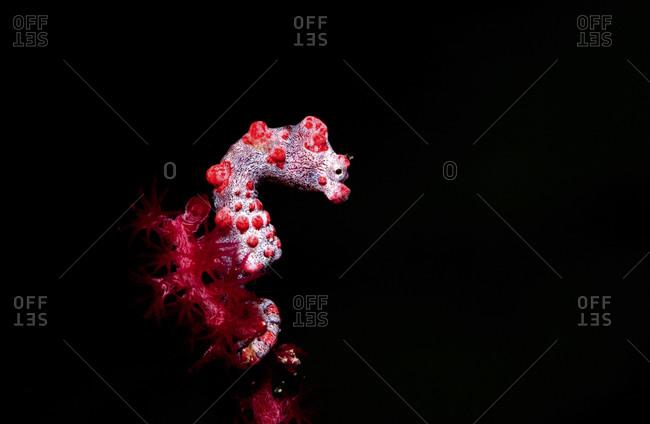 Pygmy Seahorse On Gorgonian