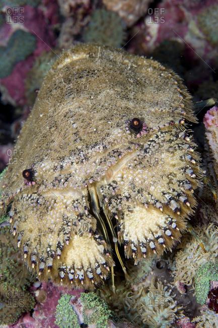 A Sculptured Slipper Lobster, Parribacus Antarcticus, Indonesia