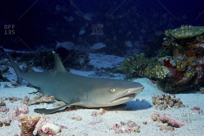 Reef Whitetip Shark, Triaenodon Obesus, Rests On The Sand Bottom, Fakrava, French Polynesia