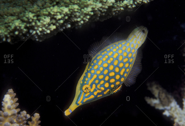 Longnose Filefish, Fiji